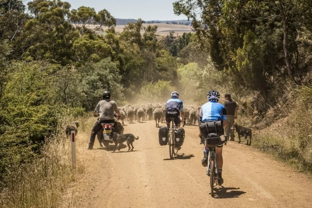 Beardy McBeard // The Cycle Photographer sheep, cyclists, panniers