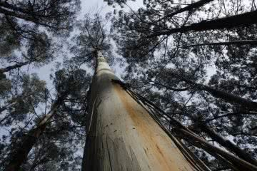 Wonder Hikes North East of Melbourne (VIC) Jimmy Nails ToweringToolangiEucalyptus, tree