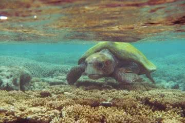Marooned on a Tropical Australian Island // Lady Musgrave Island (QLD) Joel Johnsson turtle underwater