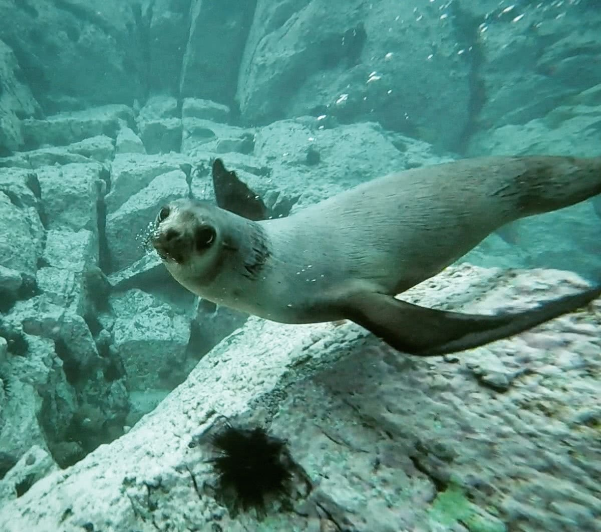 Swimming with Seals, The Dancers Of The Sea // Montague Island (NSW) Joel Johnsson, seal, underwater, close up