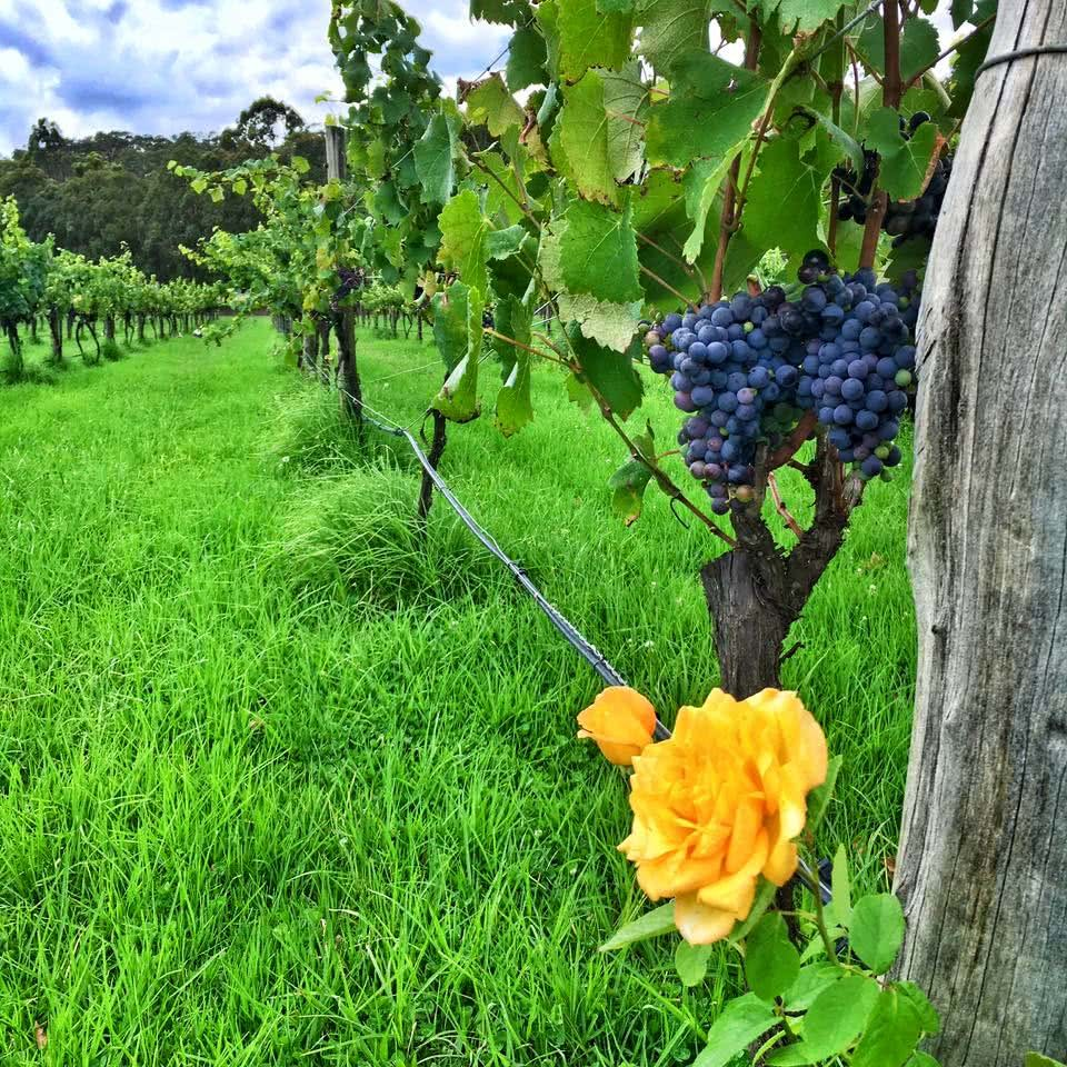 Cowboys and the Hunter Valley (NSW) Angharad Rees grapes vineyard