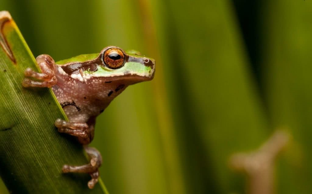 The Man who Photographs Australia's Endangered Reptiles Jannico Kelk Peppered Tree Frog