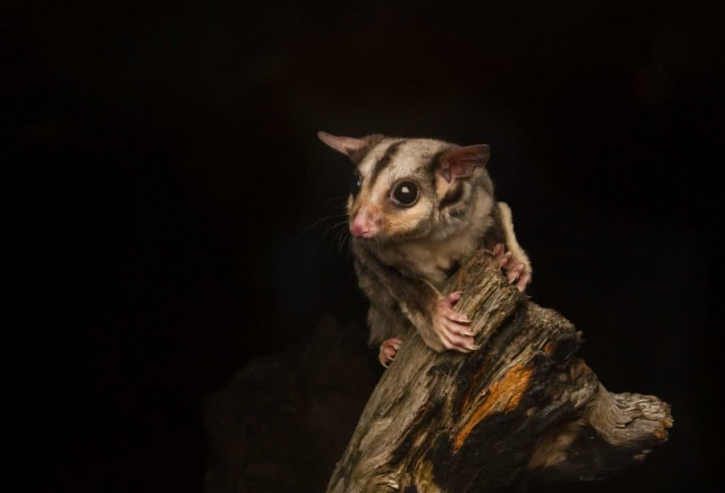 The Man who Photographs Australia's Endangered Reptiles Jannico Kelk Squirrel Glider