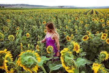 queensland sunflower fields forever scout hinchcliffe, sunflowers, girl, woman, pink dress, frolicking
