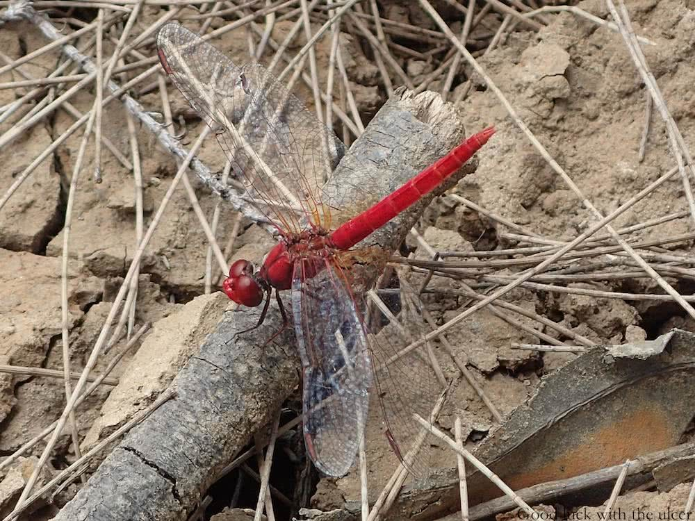A beautiful red dragonfly, Nepean River, Australia