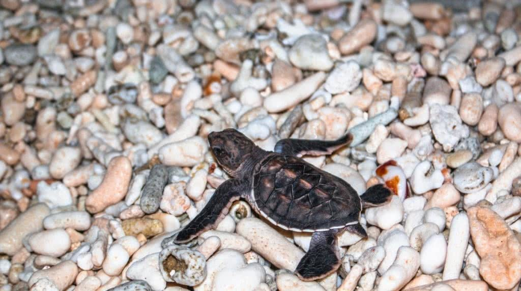 baby turtles Lady Elliot Island great barrier reef qld scout hinchliffe