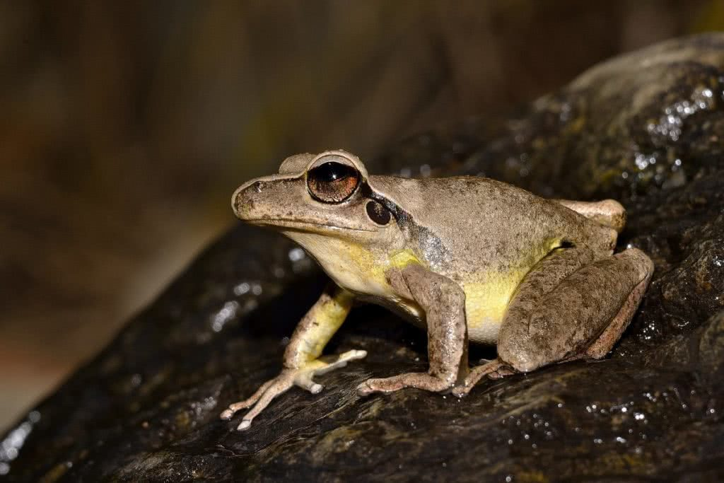 Indiana Madden-Olle, Stony-creek frog (Litoria wilcoxii), snakes, reptiles, animals