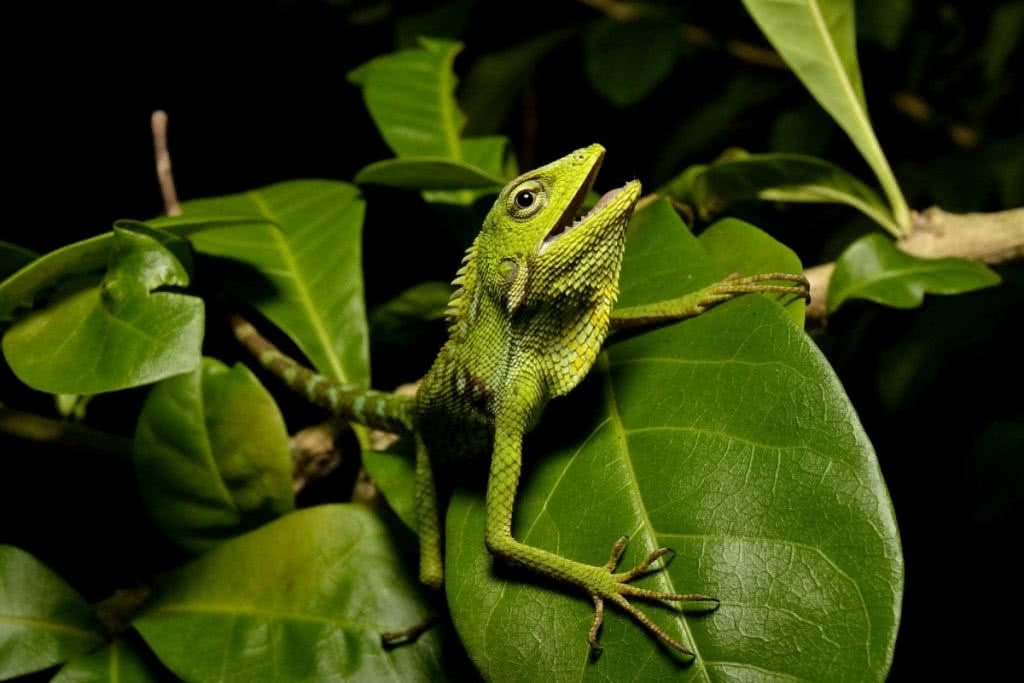 Indiana Madden-Olle, Green crested canopy lizard (Bronchocela jubata), snakes, reptiles, animals