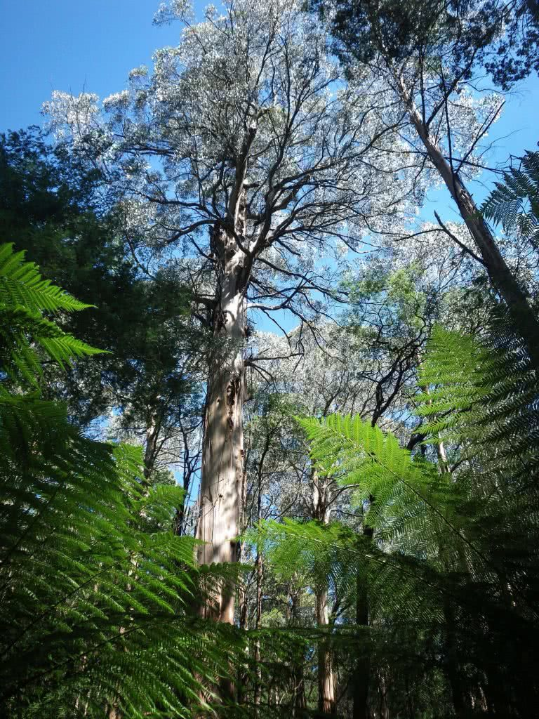 Last Day of Summer, Wirrawilla Rainforest and Myrtle Gully, Toolangi, Victoria, Aidan Kempster, tall tree, mountain ash tree