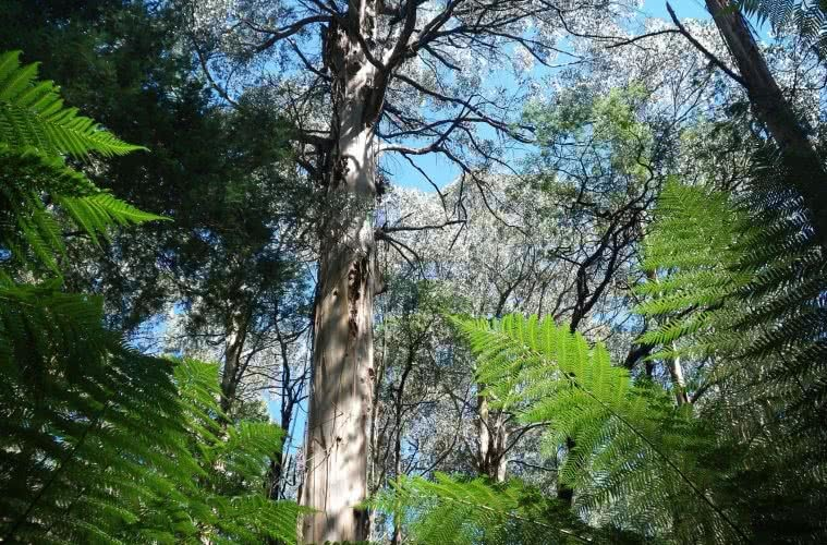 Cropped - Last Day of Summer, Wirrawilla Rainforest and Myrtle Gully, Toolangi, Victoria, Aidan Kempster, tall tree, mountain ash tree