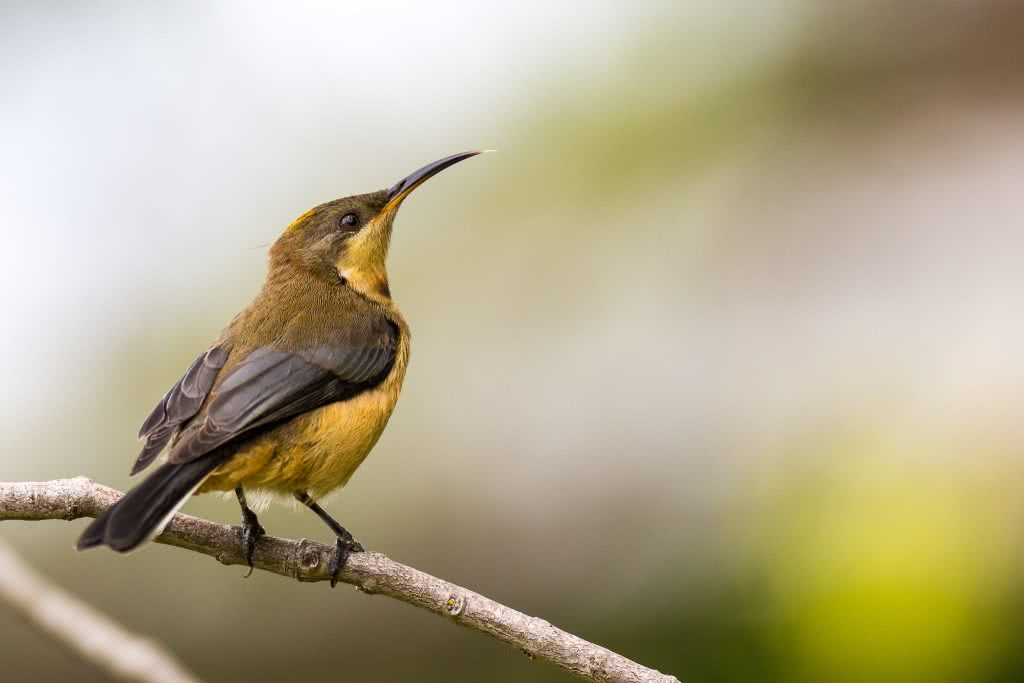 Jon Harris, Eastern Spinebill, bird, pollen, forest