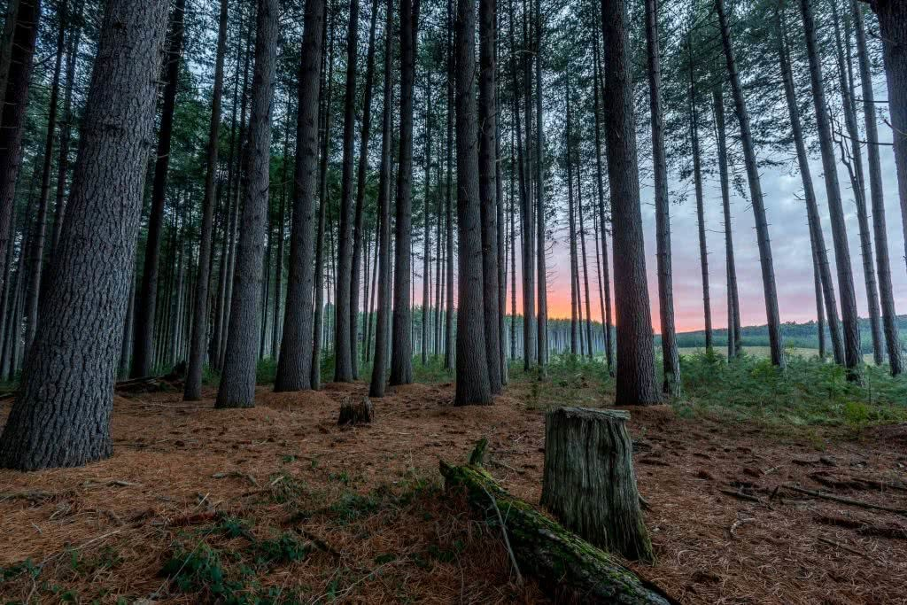 Jon Harris, Sugarpines Walk, Bago State Forest, pine trees, sunset