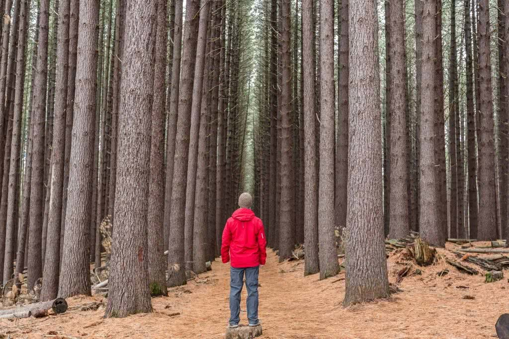 Jon Harris, Sugarpines Walk, Bago State Forest, pine trees