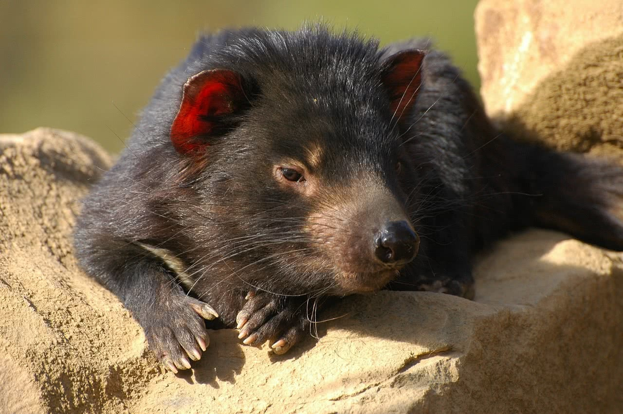 tony britt-lewis, pet tasmanian devils, conservation, environment, cute, animal