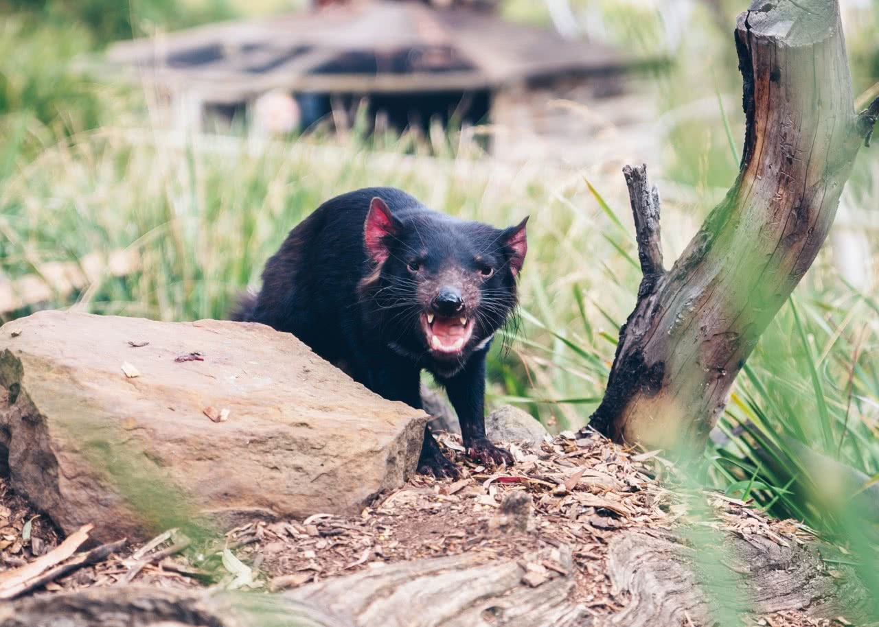 pet tasmanian devils, article, conservation, zoo