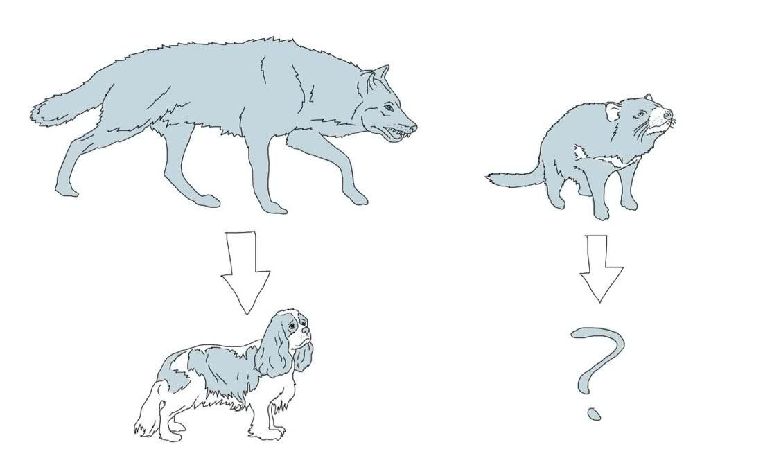 Tassie Devils Article Drawing, domestication