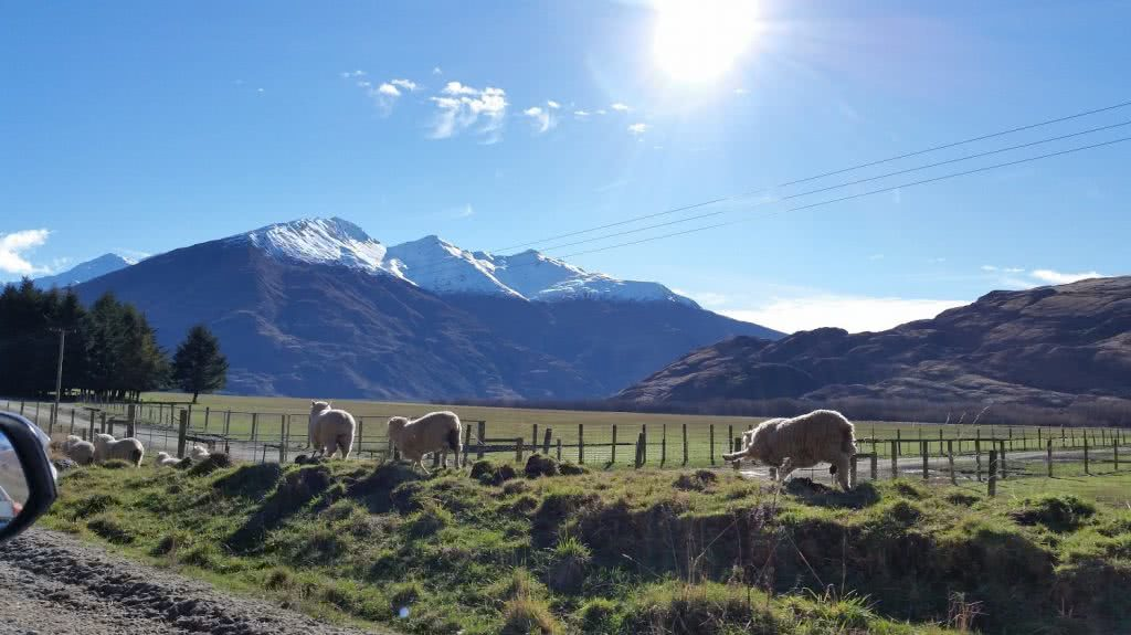 A Mini Glacier Adventure Rob Roy Glacier Track NZ Mount Aspiring National Park Wanaka Suzanne Chellingworth, Mountains, snow-capped, sheep, fence, grass