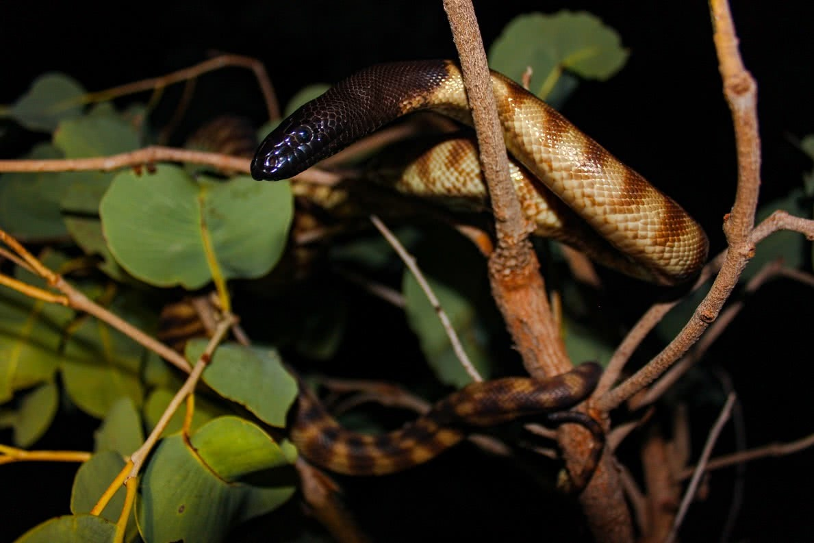 dan parkes, Black Head, snake, herpetology, photography, snake spotting