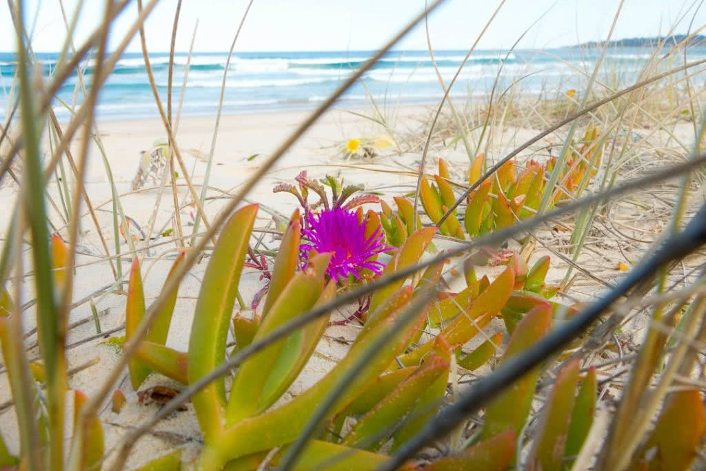 A Family Adventure Among The Burrawangs // Conjola Beach (NSW) drone, Melissa Bowyer, beach, flowers, pigface, waves, ocean, pink