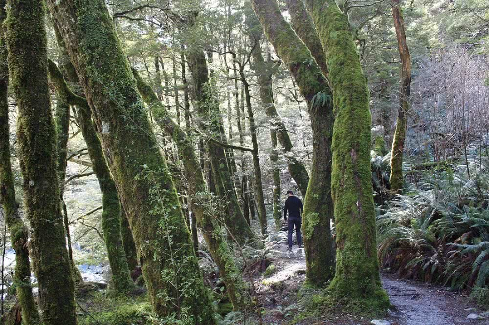 A Mini Glacier Adventure Rob Roy Glacier Track NZ Mount Aspiring National Park Wanaka Suzanne Chellingworth, trees, forest, man, trail