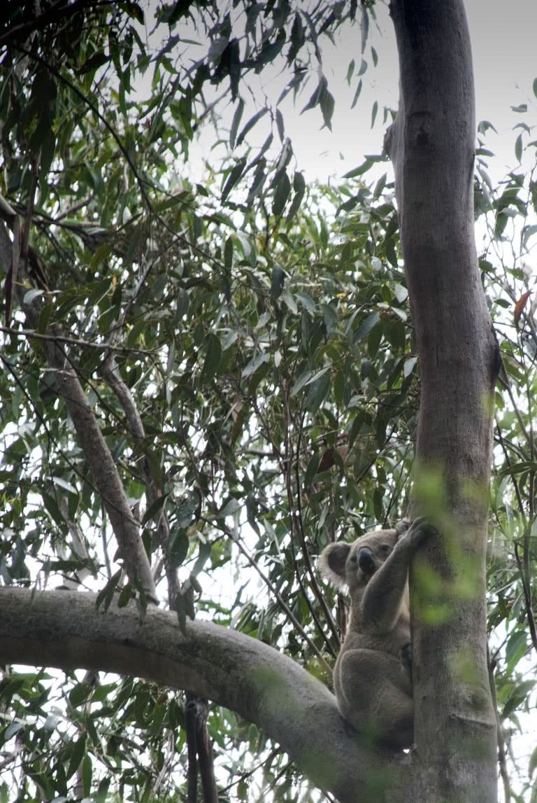 Smiths Creek Reserve, Matt Pearce, koala, spotting, bush, 10 walks near sydney you can reach by train, nsw