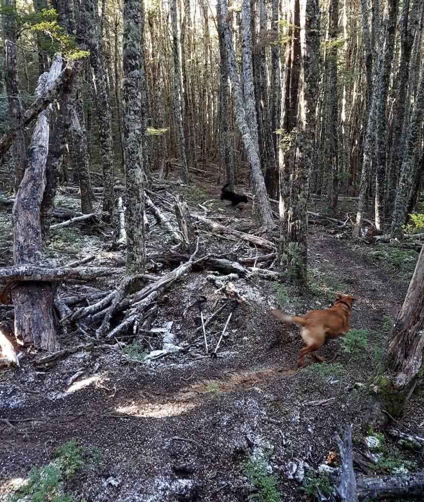 Dog Tails With Oshy // Cuckoo Creek Trail (NZ) Ian Middleton, woods, forest, trees