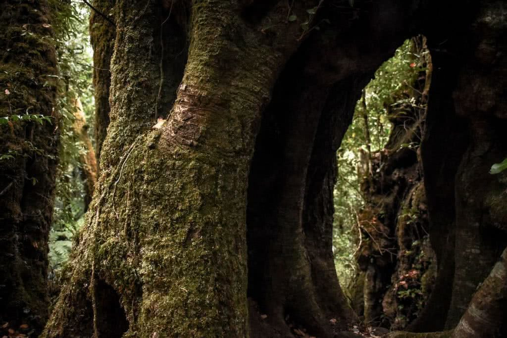 What To Pack For A Marathon Hike Lisa Owen, Lamington National Park, tree trunk, huge tree