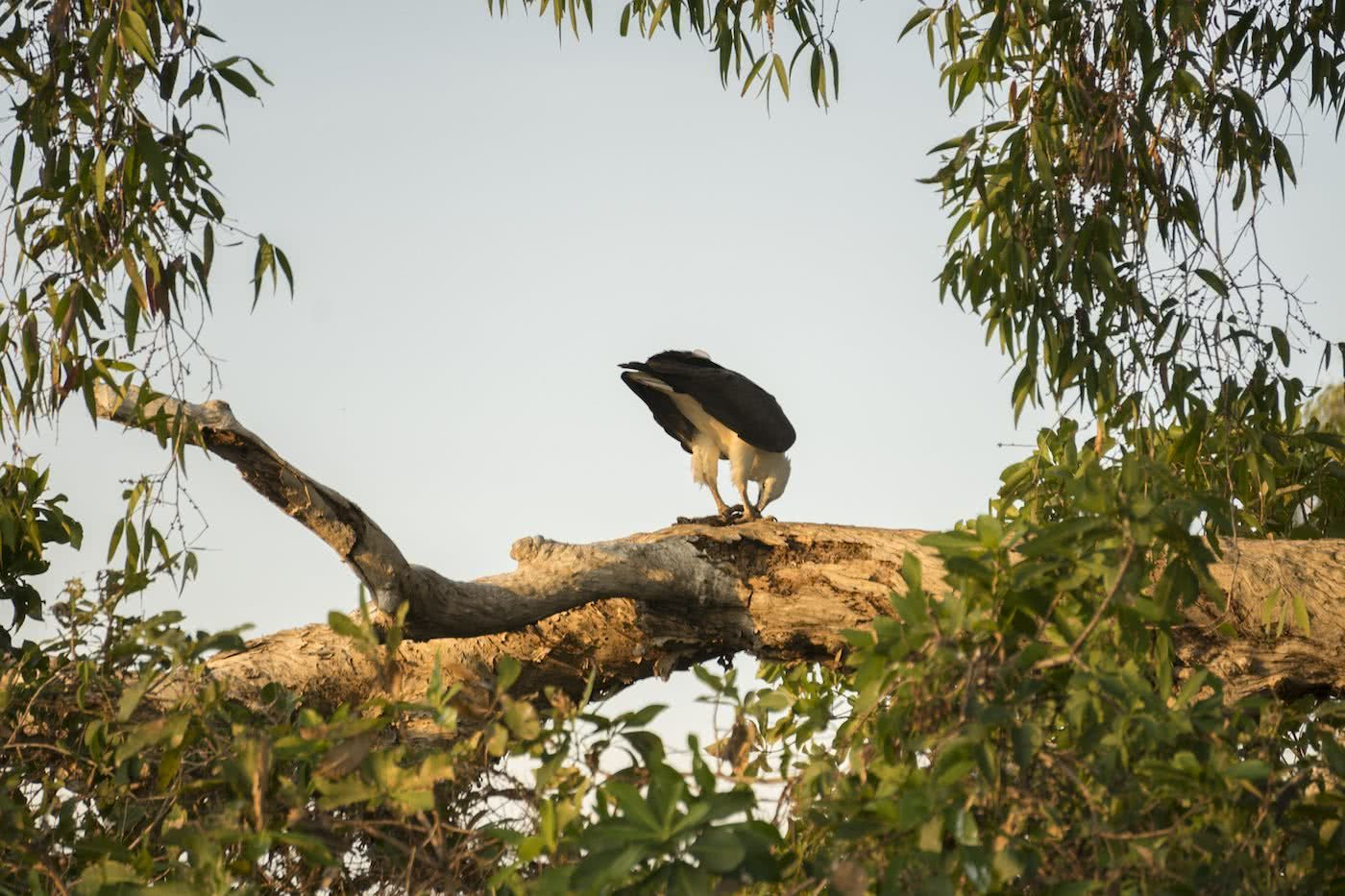 Lewis Burnett, Hunting for Paradise, Kakadu National Park, Photo Essay, eagle, bird