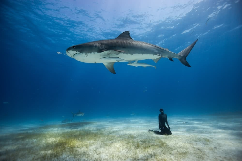 Freediving-Tiger-Sharks-01, ocean film festival, one breath