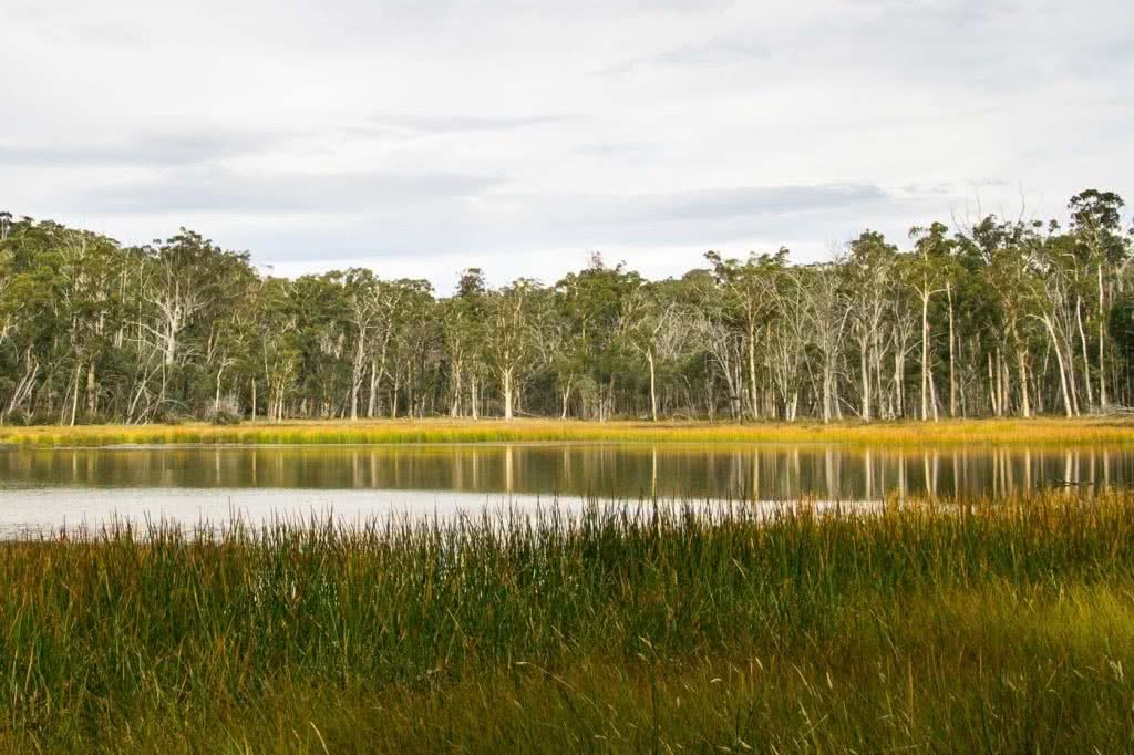 Mt Cobbler Plateau Circuit // Alpine National Park (VIC), Isobel Campbell, Lake Cobbler, yellow reeds, calm water, forest, reflection