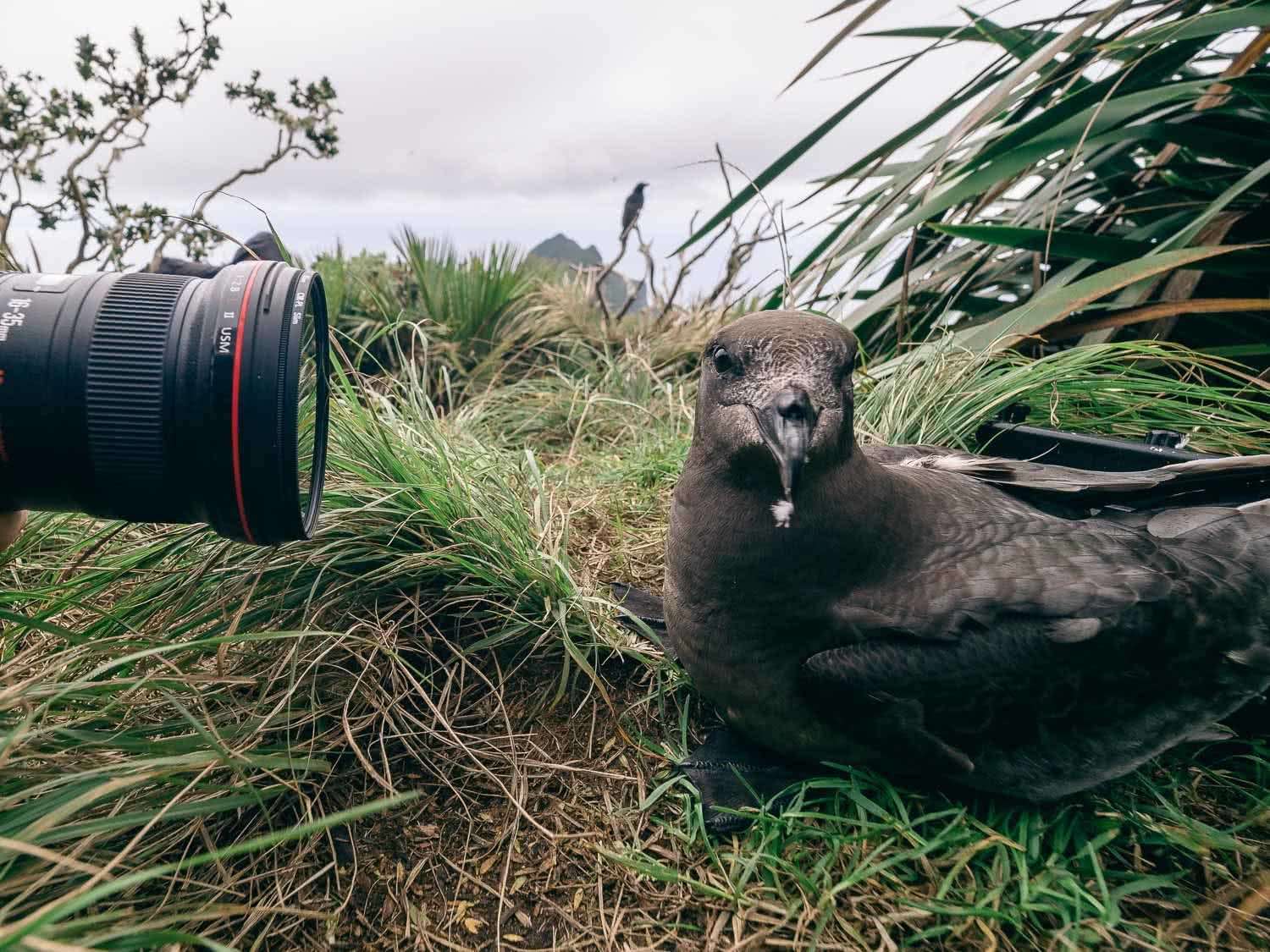 Lord Howe Island's Photography Hot Spots, Matt Horspool, Providence Petrel, bird, wildlife photography, grass, close up