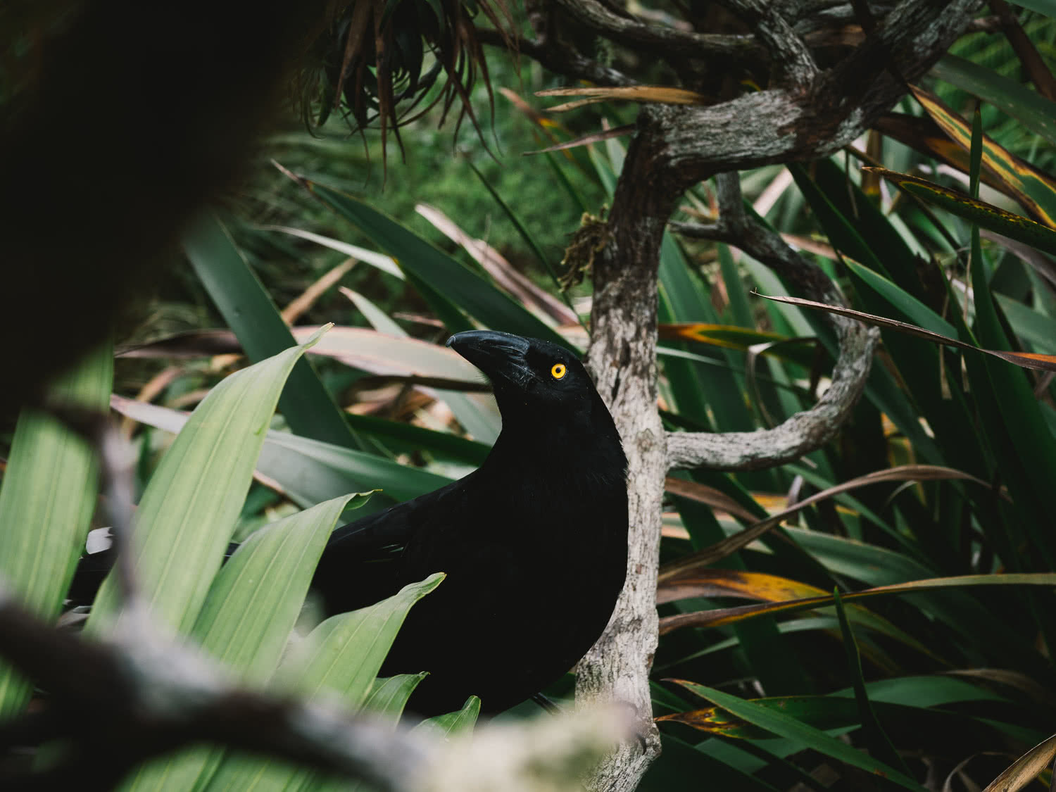Lord Howe Island's Photography Hot Spots, Matt Horspool, Currawong, bird, wildlife, native, branch, undergrowth