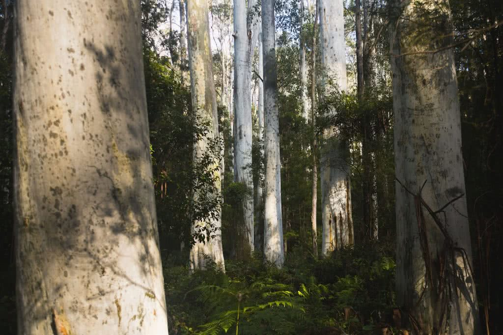 Escape From The Urban // Blackheath To Acacia Flat (NSW), Matt n Kat Pearce, Blue Gum forest, tree trunks, shadows, conservation, Blue Mountains