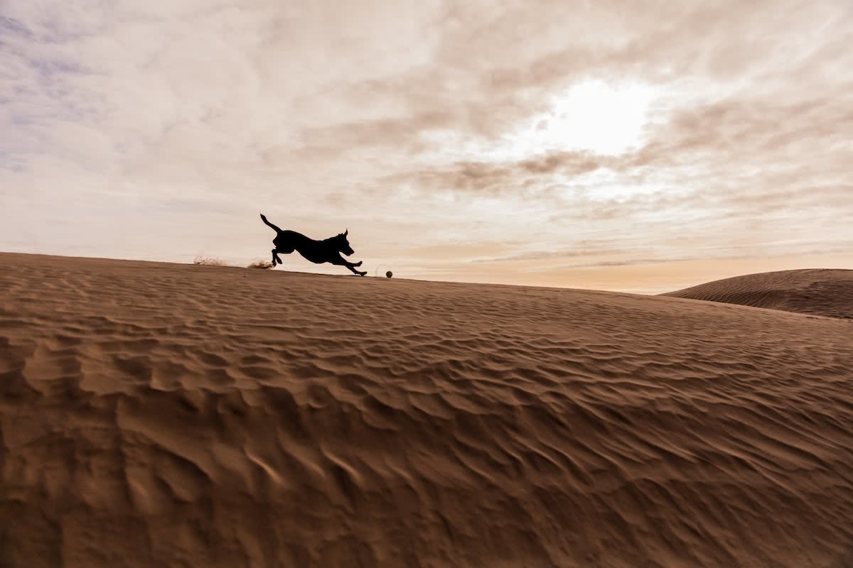 patrick-hendry, dog, dune, unsplash, best dog friendly camping in new south wales