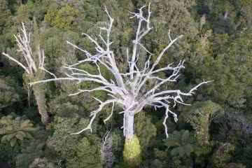 Killer Footprints // Kauri Dieback Disease, Isobel Campbell, Dead kauri, photo credit _Toby Ricketts _ MPI_, skeleton, branches, aerial, drone