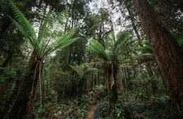 henry brydon, tarkine, rainforest, world heritage protection, save the tarkine, ferns, green, gondwana