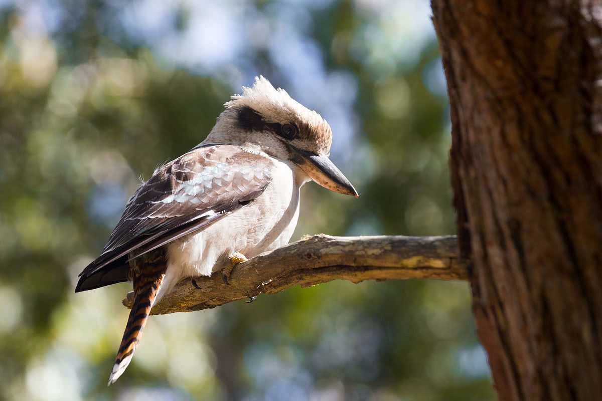 The Bare Beauty Of Bald Rock National Park (NSW) // Photo Essay, Liam Hardy, kookaburra, bird, wildlife, perched, branch