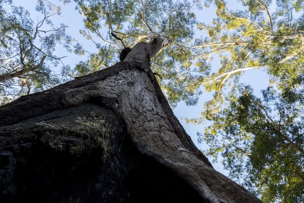 Steve Pearce, Searching For Giants // Big Trees Of Bellingen, Kai Wild, Conservation, logging, tree