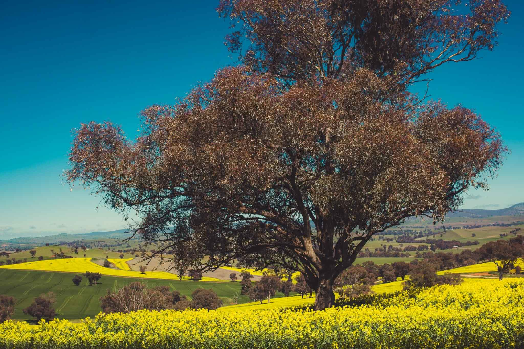Cootamundra's Canola Fields & The Sugar Pine Forest (NSW), Alfonso Calero, Riverina, NSW, canola flowers, tree