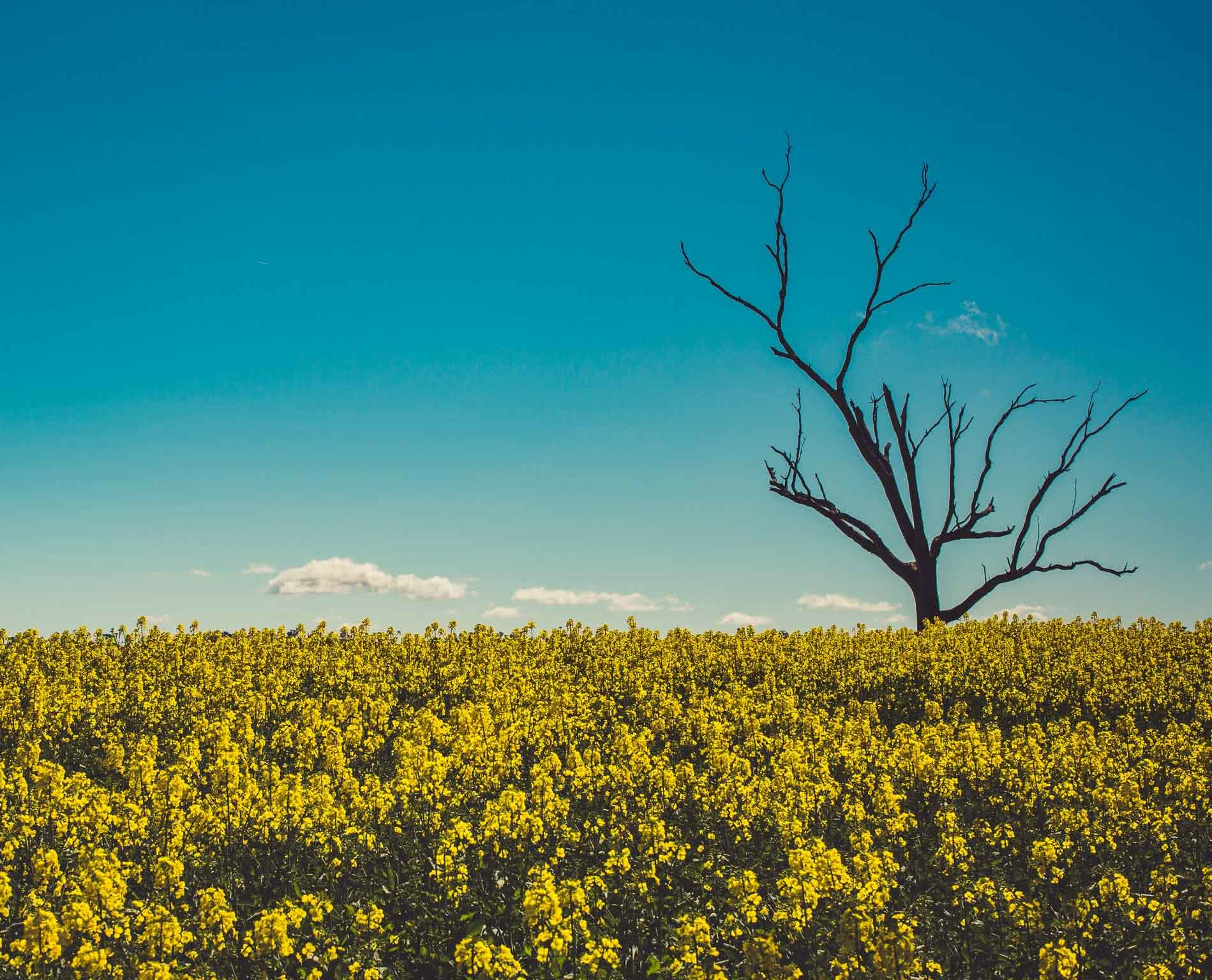 Cootamundra's Canola Fields & The Sugar Pine Forest (NSW), Alfonso Calero, Riverina, NSW, canola flowers, dead tree