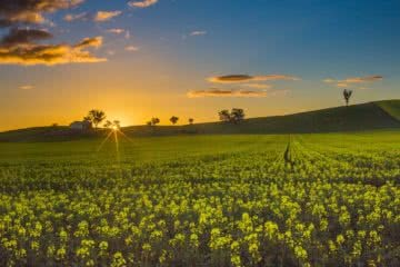 Cootamundra's Canola Fields & The Sugar Pine Forest (NSW), Alfonso Calero, Riverina, NSW, canola flowers