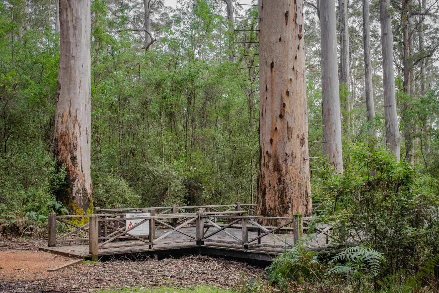 Tree Climbing And Wild Swimming - The Warren River NP // Pemberton (WA), Mark Pybus, boardwalk, forest