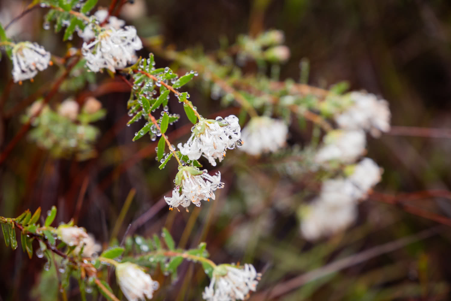 An Explorer's Guide To Wildflowers In The Blue Mountains, Rachel Dimond, Blue Mountains Flowers