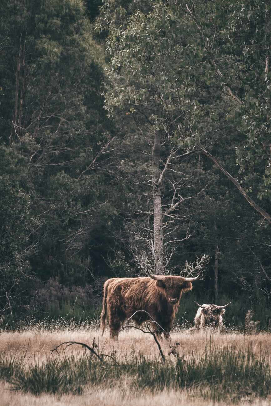 Winter Road Trippin' Tassie // Photo Essay Brent Frondall highland cattle