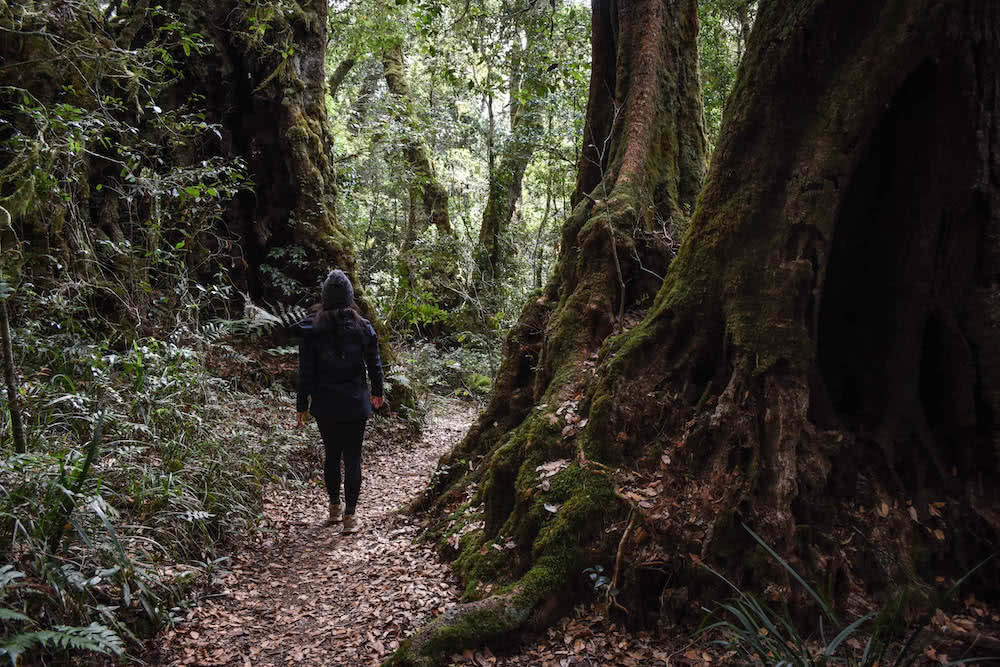 The 21 Best Brisbane Based Outdoor Adventures & Day Trips, Photo by Lisa Owen, antarctic beech trees, hike