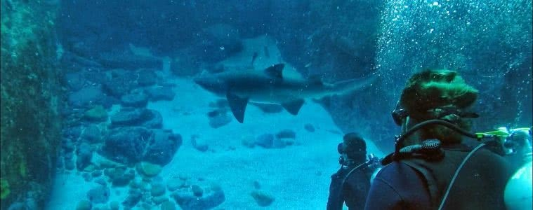 Diving with Sharks! No cage, No worries - Grant Purcell, underwater, scuba, shark