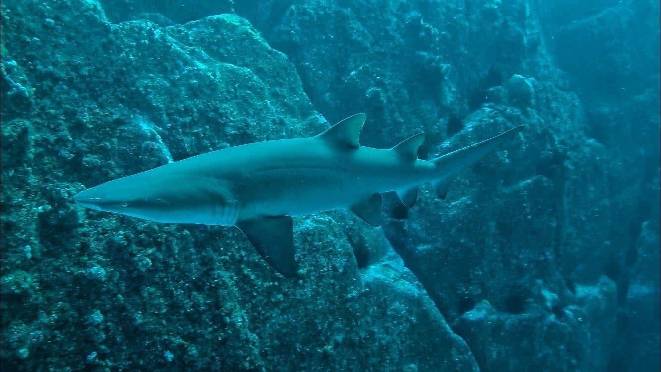 Diving with Sharks! No cage, No worries - Grant Purcell, underwater, scuba, shark, grey nurse shark