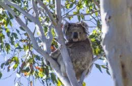 The Great Koala National Park Plans To Link Protected Areas With State Forest To Protect Koalas, Koala near Bellingen, Photo by Lincoln Head, NSW, logging, animal