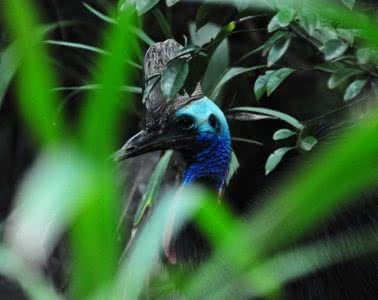 How (And Where) To See The Coolest Native Australian Animals Caitlin Weatherstone Cassowary_Travis Simon_ Attribution 2.0 Generic (CC BY 2.0)