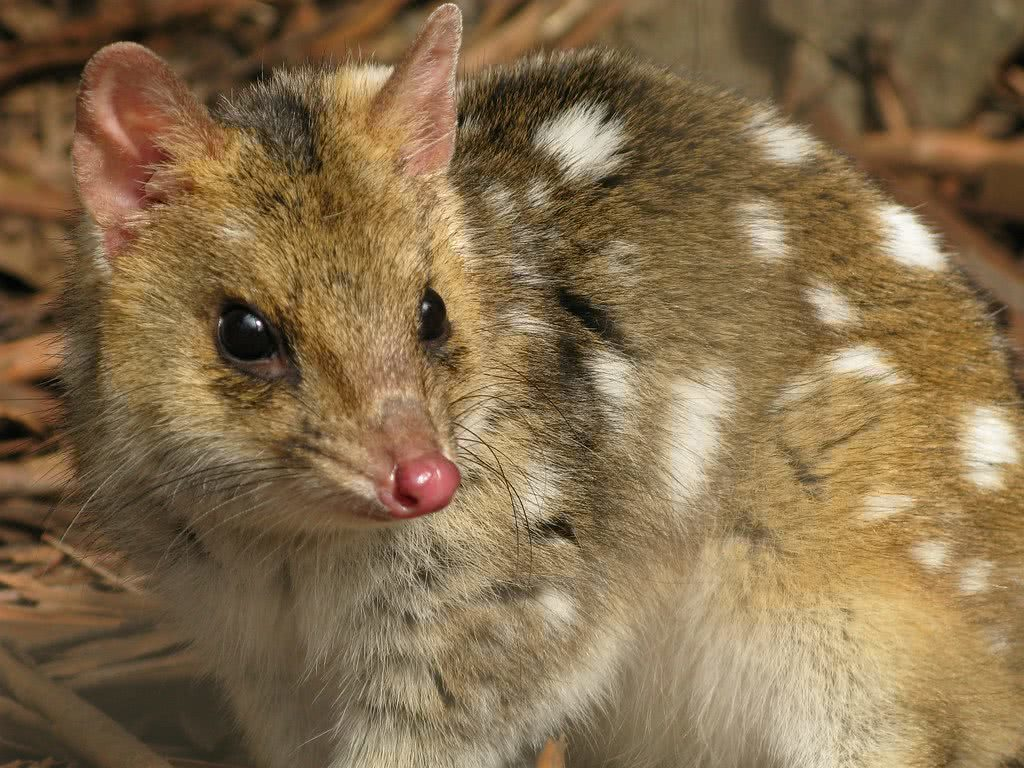 How (And Where) To See The Coolest Native Australian Animals, Eastern Quoll, photo by Sontag, Flickr, Creative Commons 2.0